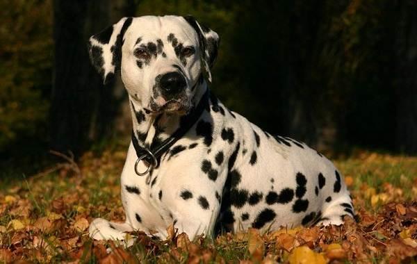 Самые-умные-породы-собак-28