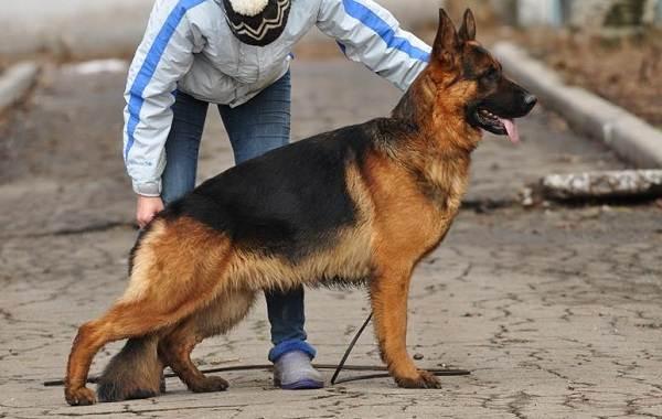 Самые-умные-породы-собак-3