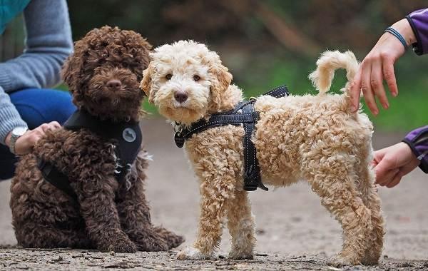 Самые-умные-породы-собак-4