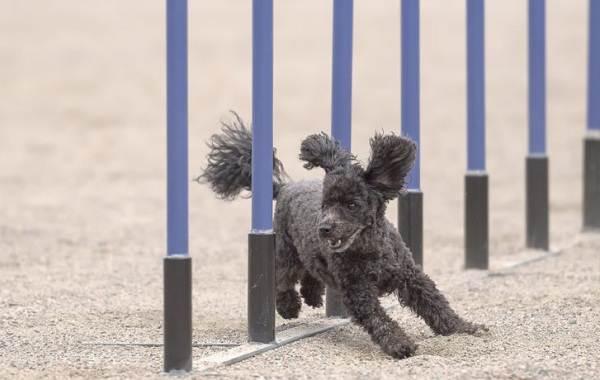 Самые-умные-породы-собак-5