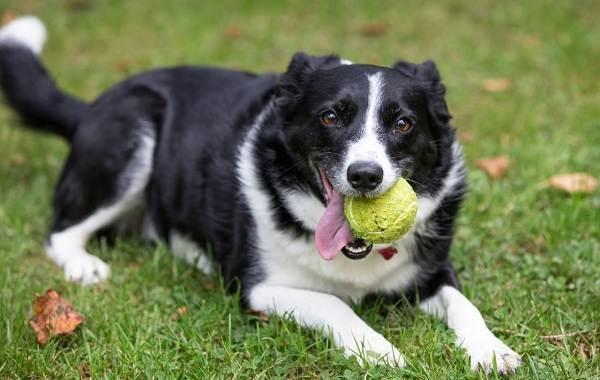 Самые-умные-породы-собак-6