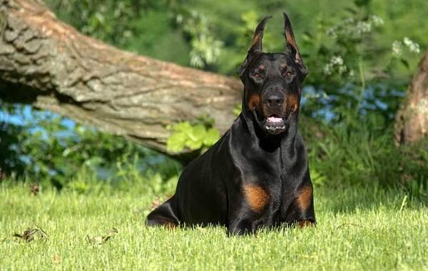 Самые-умные-породы-собак-7