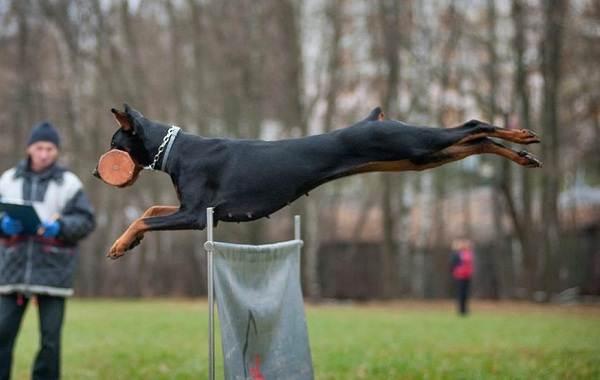 Самые-умные-породы-собак-8