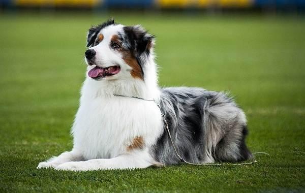 Самые-умные-породы-собак-9