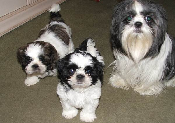 Шипу-собака-Описание-особенности-виды-характер-уход-и-цена-породы-шипу-1