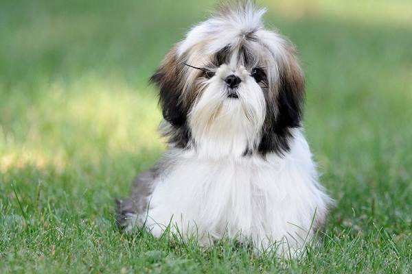 Шипу-собака-Описание-особенности-виды-характер-уход-и-цена-породы-шипу-2