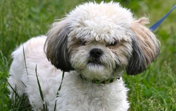 Шипу-собака-Описание-особенности-виды-характер-уход-и-цена-породы-шипу-3