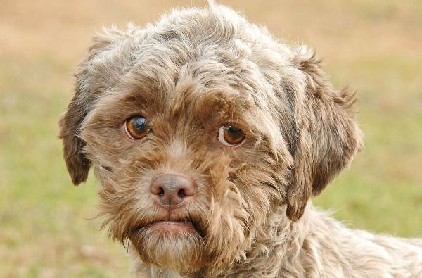 Шипу-собака-Описание-особенности-виды-характер-уход-и-цена-породы-шипу-4