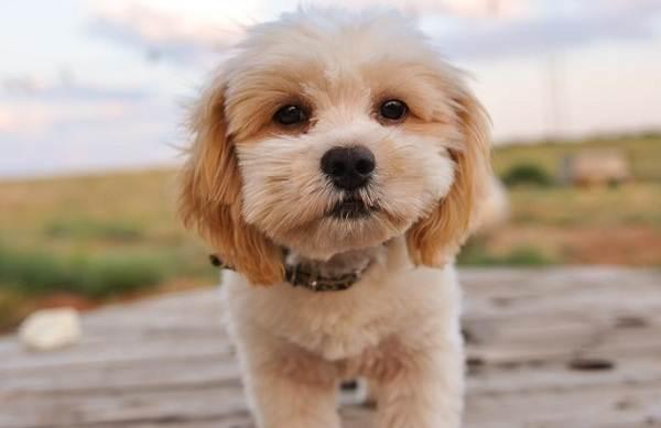 Шипу-собака-Описание-особенности-виды-характер-уход-и-цена-породы-шипу-5