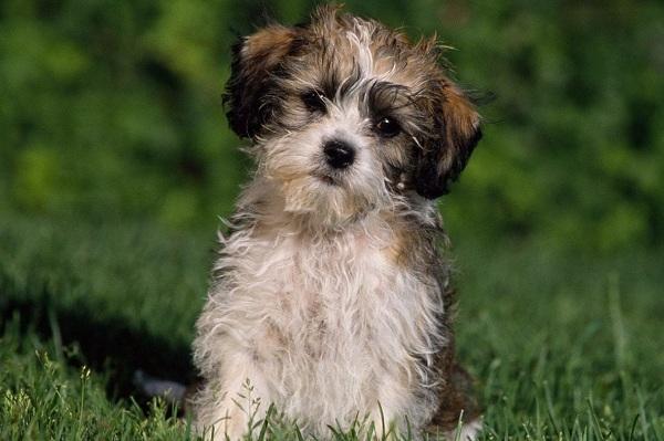 Шипу-собака-Описание-особенности-виды-характер-уход-и-цена-породы-шипу-8