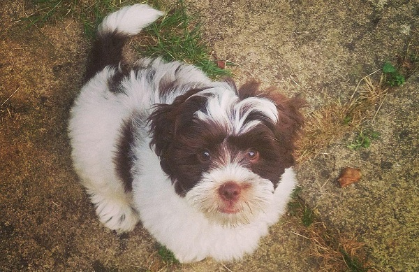 Шипу-собака-Описание-особенности-виды-характер-уход-и-цена-породы-шипу-9