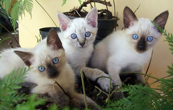 Сиамская-кошка-Описание-особенности-виды-характер-уход-и-цена-сиамской-породы-10