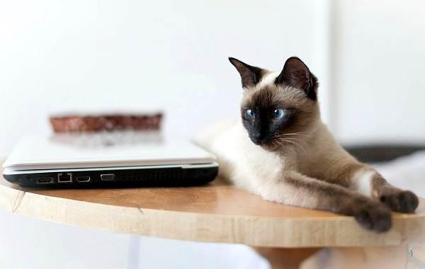 Сиамская-кошка-Описание-особенности-виды-характер-уход-и-цена-сиамской-породы-11