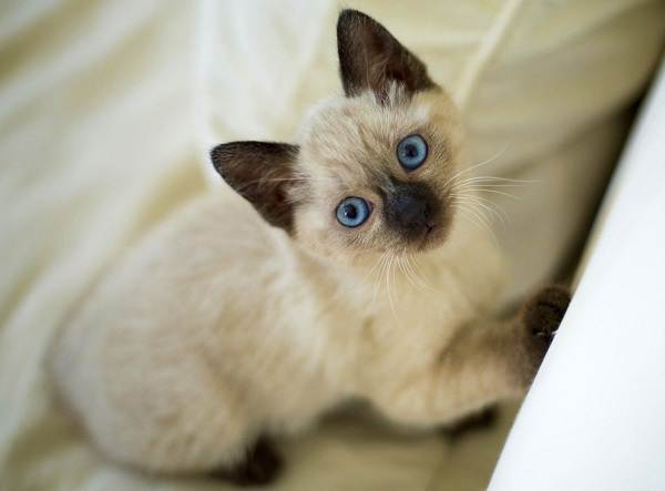 Сиамская-кошка-Описание-особенности-виды-характер-уход-и-цена-сиамской-породы-12
