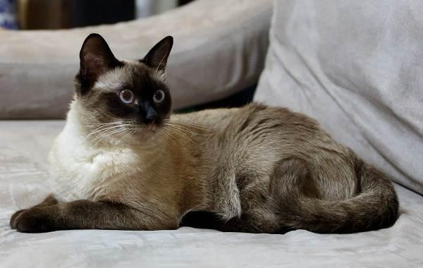 Сиамская-кошка-Описание-особенности-виды-характер-уход-и-цена-сиамской-породы-14