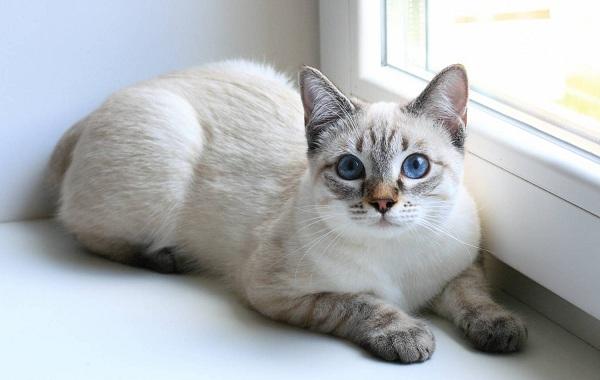 Сиамская-кошка-Описание-особенности-виды-характер-уход-и-цена-сиамской-породы-15