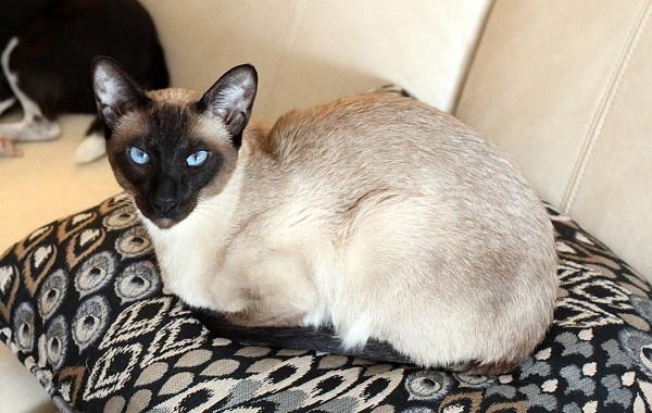 Сиамская-кошка-Описание-особенности-виды-характер-уход-и-цена-сиамской-породы-16