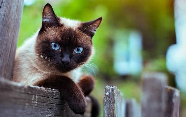 Сиамская-кошка-Описание-особенности-виды-характер-уход-и-цена-сиамской-породы-2