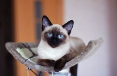 Сиамская кошка. Описание, особенности, виды, характер, уход и цена сиамской породы