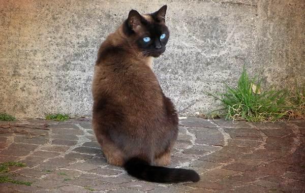 Сиамская-кошка-Описание-особенности-виды-характер-уход-и-цена-сиамской-породы-4