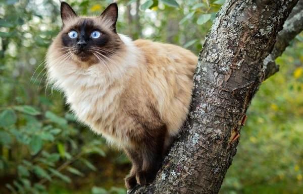 Сиамская-кошка-Описание-особенности-виды-характер-уход-и-цена-сиамской-породы-5
