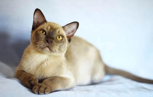 Сиамская-кошка-Описание-особенности-виды-характер-уход-и-цена-сиамской-породы-6