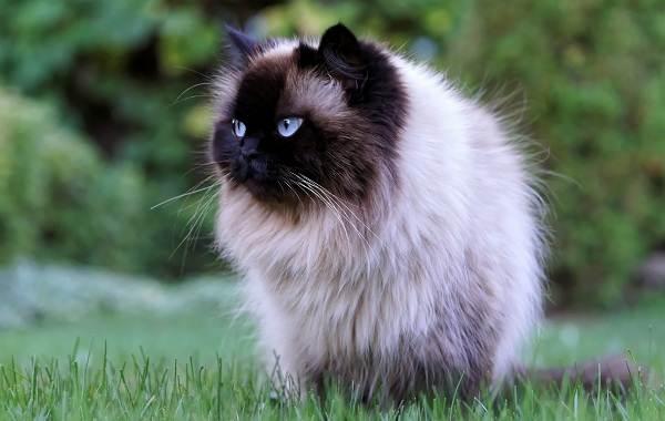Сиамская-кошка-Описание-особенности-виды-характер-уход-и-цена-сиамской-породы-7