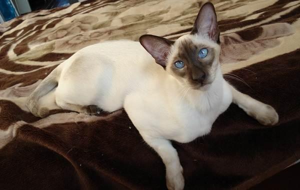 Сиамская-кошка-Описание-особенности-виды-характер-уход-и-цена-сиамской-породы-8