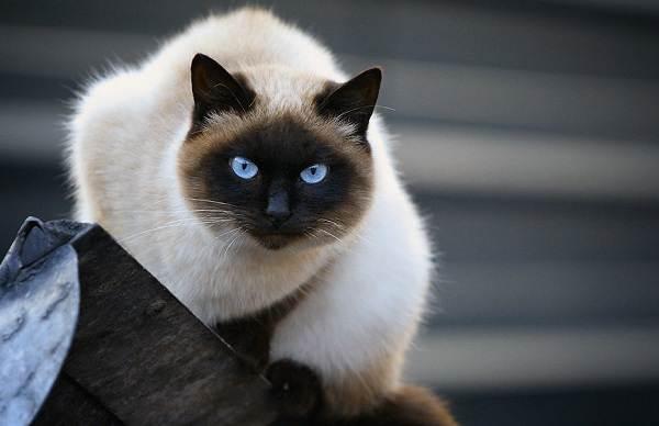 Сиамская-кошка-Описание-особенности-виды-характер-уход-и-цена-сиамской-породы-9