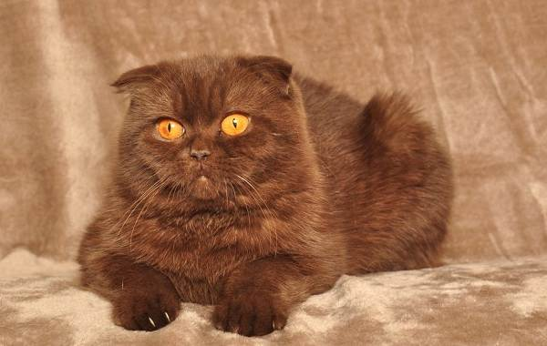 Скоттиш-фолд-кошка-Описание-особенности-виды-характер-уход-и-цена-породы-скоттиш-фолд-10