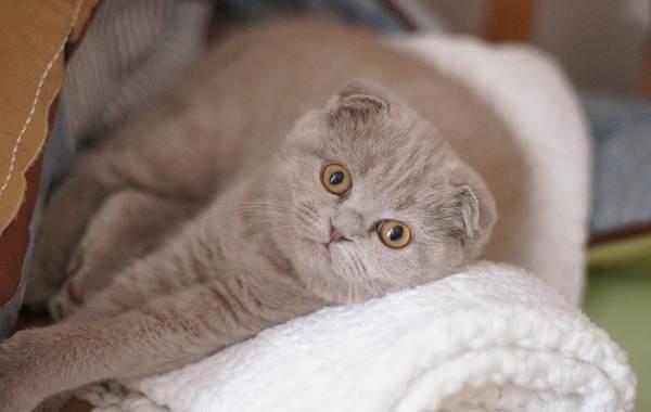 Скоттиш-фолд-кошка-Описание-особенности-виды-характер-уход-и-цена-породы-скоттиш-фолд-11
