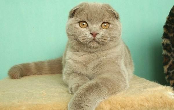Скоттиш-фолд-кошка-Описание-особенности-виды-характер-уход-и-цена-породы-скоттиш-фолд-12