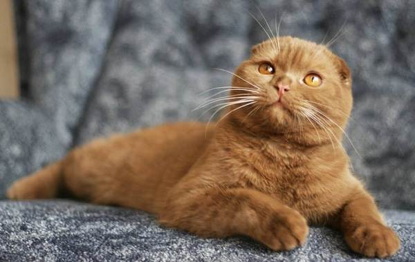 Скоттиш-фолд-кошка-Описание-особенности-виды-характер-уход-и-цена-породы-скоттиш-фолд-13