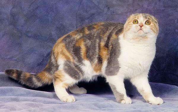 Скоттиш-фолд-кошка-Описание-особенности-виды-характер-уход-и-цена-породы-скоттиш-фолд-14