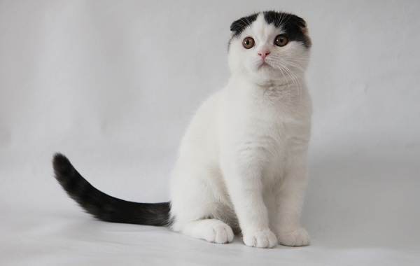 Скоттиш-фолд-кошка-Описание-особенности-виды-характер-уход-и-цена-породы-скоттиш-фолд-15