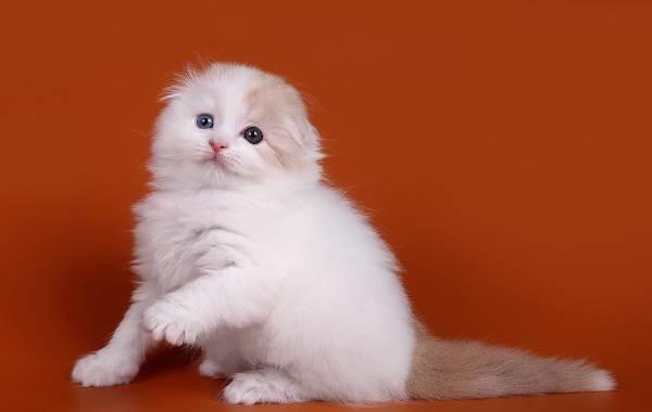 Скоттиш-фолд-кошка-Описание-особенности-виды-характер-уход-и-цена-породы-скоттиш-фолд-16