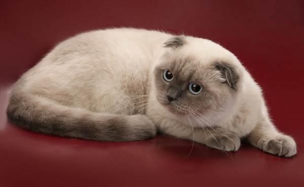 Скоттиш-фолд-кошка-Описание-особенности-виды-характер-уход-и-цена-породы-скоттиш-фолд-17