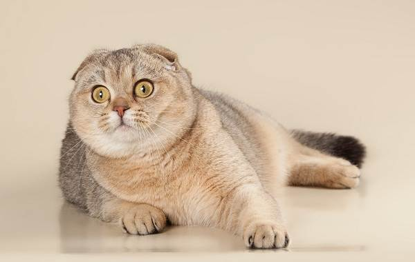 Скоттиш-фолд-кошка-Описание-особенности-виды-характер-уход-и-цена-породы-скоттиш-фолд-18