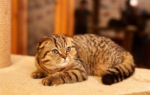 Скоттиш-фолд-кошка-Описание-особенности-виды-характер-уход-и-цена-породы-скоттиш-фолд-19