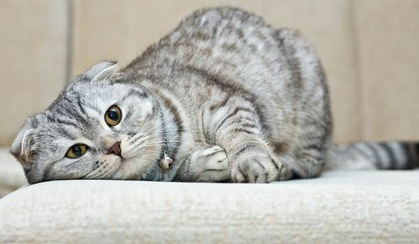 Скоттиш-фолд-кошка-Описание-особенности-виды-характер-уход-и-цена-породы-скоттиш-фолд-2