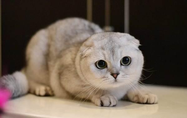 Скоттиш-фолд-кошка-Описание-особенности-виды-характер-уход-и-цена-породы-скоттиш-фолд-20