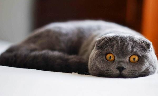 Скоттиш-фолд-кошка-Описание-особенности-виды-характер-уход-и-цена-породы-скоттиш-фолд-21