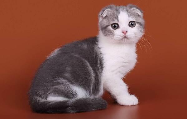 Скоттиш-фолд-кошка-Описание-особенности-виды-характер-уход-и-цена-породы-скоттиш-фолд-22