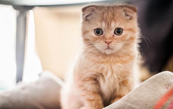 Скоттиш-фолд-кошка-Описание-особенности-виды-характер-уход-и-цена-породы-скоттиш-фолд-23