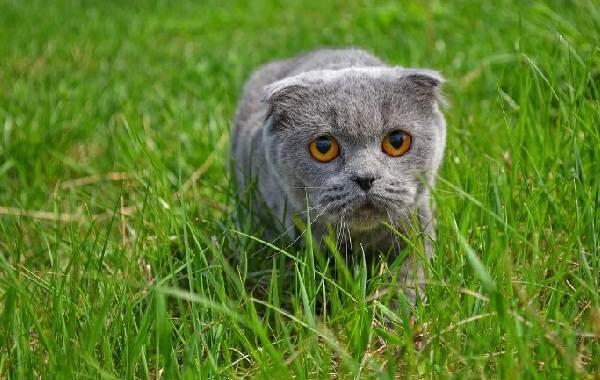 Скоттиш-фолд-кошка-Описание-особенности-виды-характер-уход-и-цена-породы-скоттиш-фолд-24