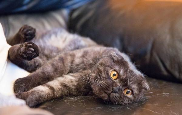 Скоттиш-фолд-кошка-Описание-особенности-виды-характер-уход-и-цена-породы-скоттиш-фолд-25