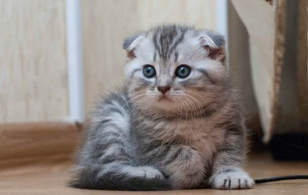 Скоттиш-фолд-кошка-Описание-особенности-виды-характер-уход-и-цена-породы-скоттиш-фолд-26