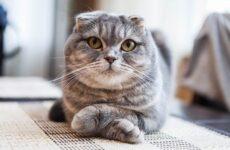 Скоттиш фолд кошка. Описание, особенности, виды, характер, уход и цена породы скоттиш фолд