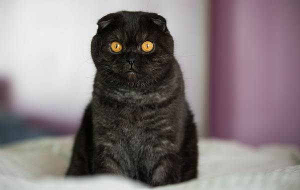 Скоттиш-фолд-кошка-Описание-особенности-виды-характер-уход-и-цена-породы-скоттиш-фолд-5