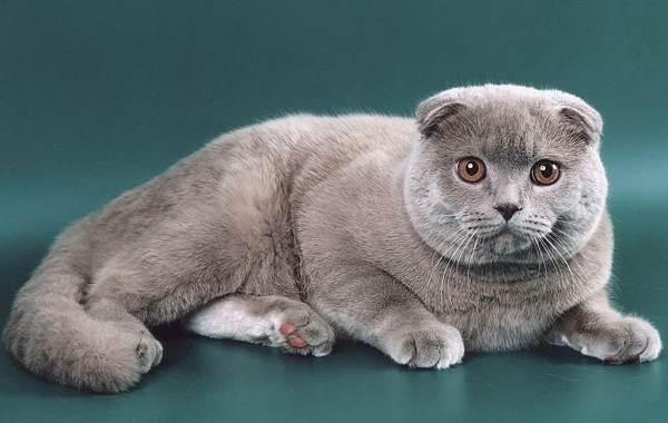 Скоттиш-фолд-кошка-Описание-особенности-виды-характер-уход-и-цена-породы-скоттиш-фолд-7